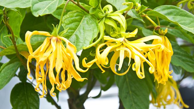 Lemongrass and Ylang Ylang Shine Serum